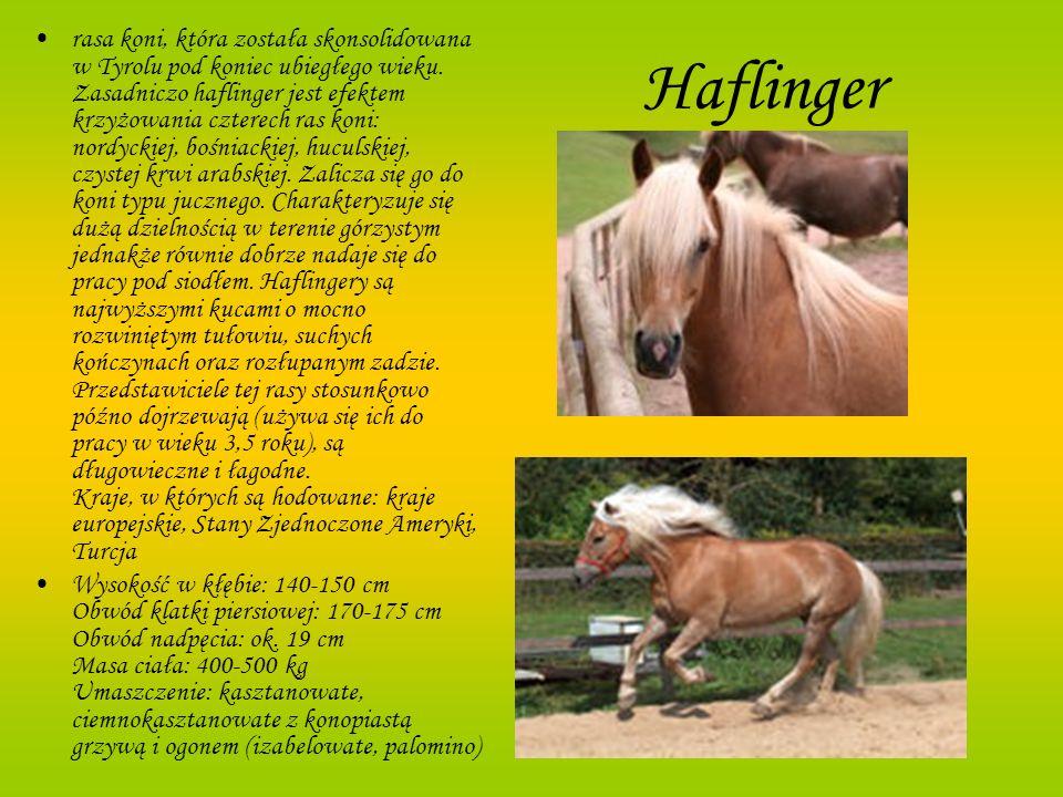 Haflinger rasa koni, która została skonsolidowana w Tyrolu pod koniec ubiegłego wieku. Zasadniczo haflinger jest efektem krzyżowania czterech ras koni