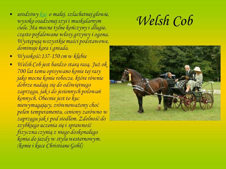 Welsh Cob urodziwy kuc o małej, szlachetnej głowie, wysoko osadzonej szyi i muskularnym ciele. Ma mocne tylne kończyny i długie, często pofalowane wło