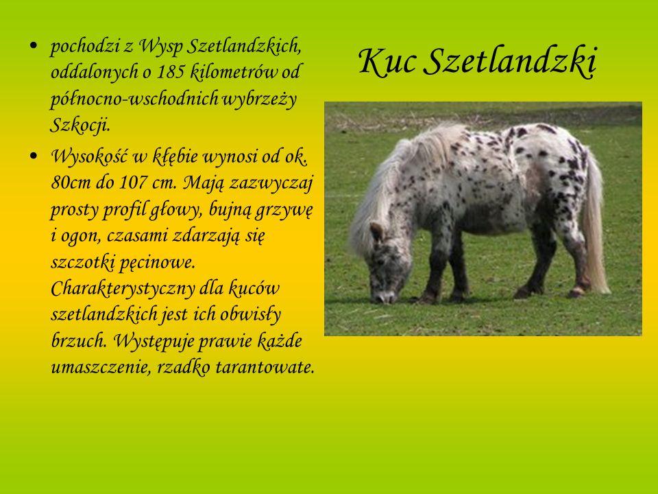 Kuc Szetlandzki pochodzi z Wysp Szetlandzkich, oddalonych o 185 kilometrów od północno-wschodnich wybrzeży Szkocji. Wysokość w kłębie wynosi od ok. 80