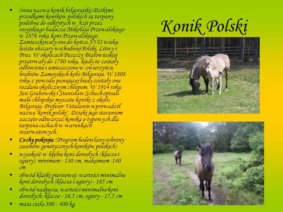 Konik Polski (inna nazwa konik biłgorajski) Dzikimi przodkami koników polskich są tarpany podobne do odkrytych w Azji przez rosyjskiego badacza Mikoła