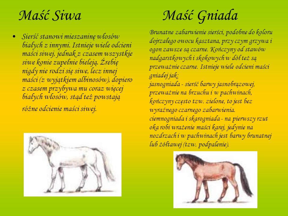 Maść Siwa Maść Gniada Sierść stanowi mieszaninę włosów białych z innymi. Istnieje wiele odcieni maści siwej, jednak z czasem wszystkie siwe konie zupe