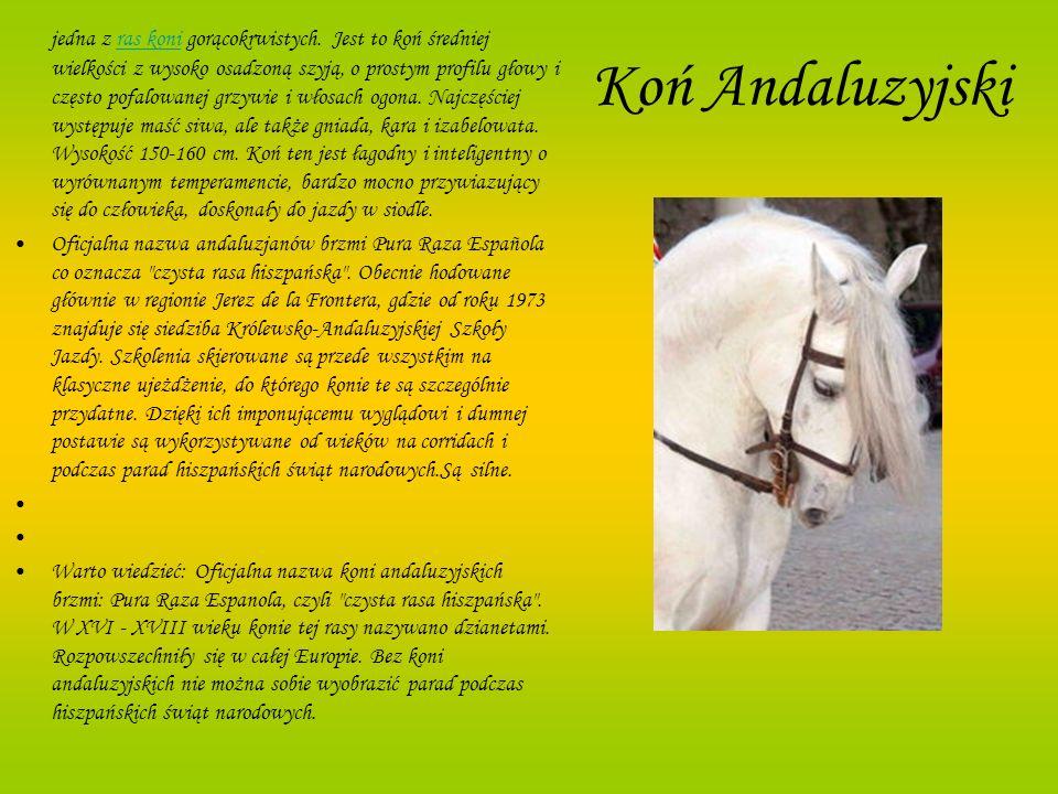 Koń Andaluzyjski jedna z ras koni gorącokrwistych. Jest to koń średniej wielkości z wysoko osadzoną szyją, o prostym profilu głowy i często pofalowane