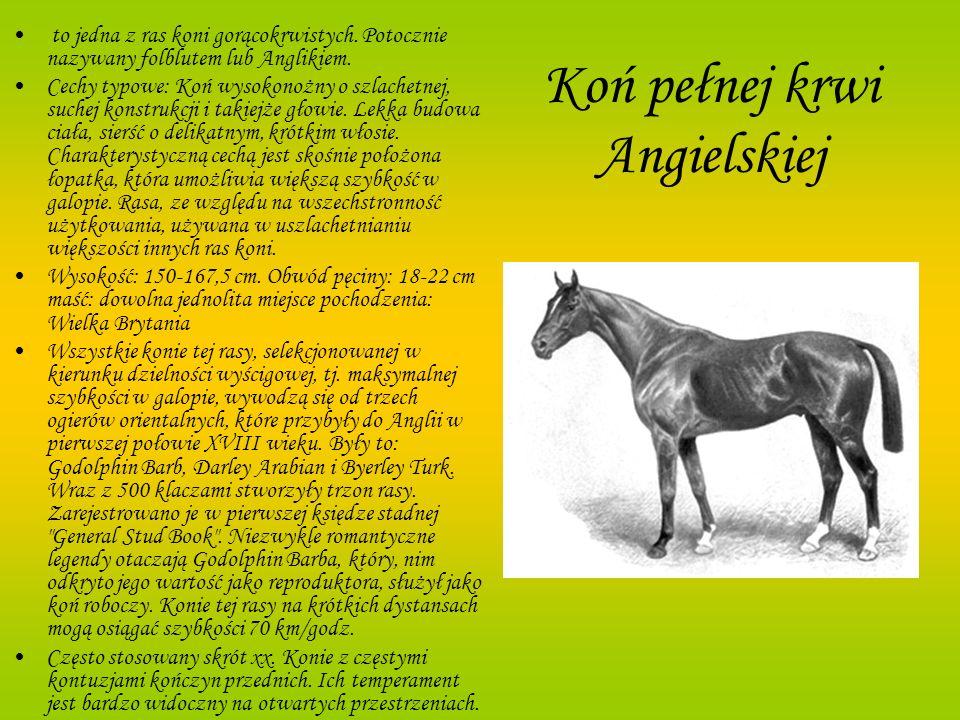 Koń pełnej krwi Angielskiej to jedna z ras koni gorącokrwistych. Potocznie nazywany folblutem lub Anglikiem. Cechy typowe: Koń wysokonożny o szlachetn
