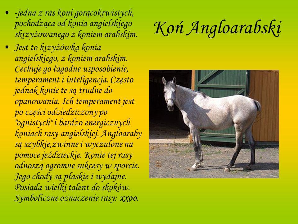 Koń Angloarabski -jedna z ras koni gorącokrwistych, pochodząca od konia angielskiego skrzyżowanego z koniem arabskim. Jest to krzyżówka konia angielsk