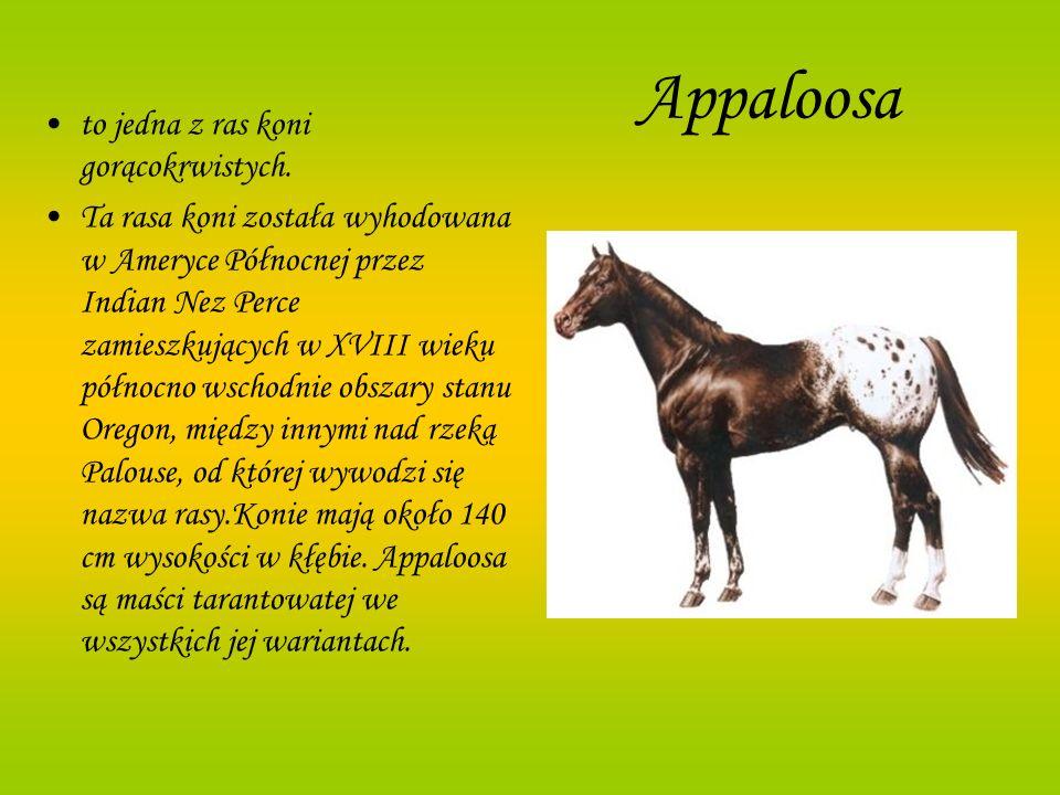 Appaloosa to jedna z ras koni gorącokrwistych. Ta rasa koni została wyhodowana w Ameryce Północnej przez Indian Nez Perce zamieszkujących w XVIII wiek
