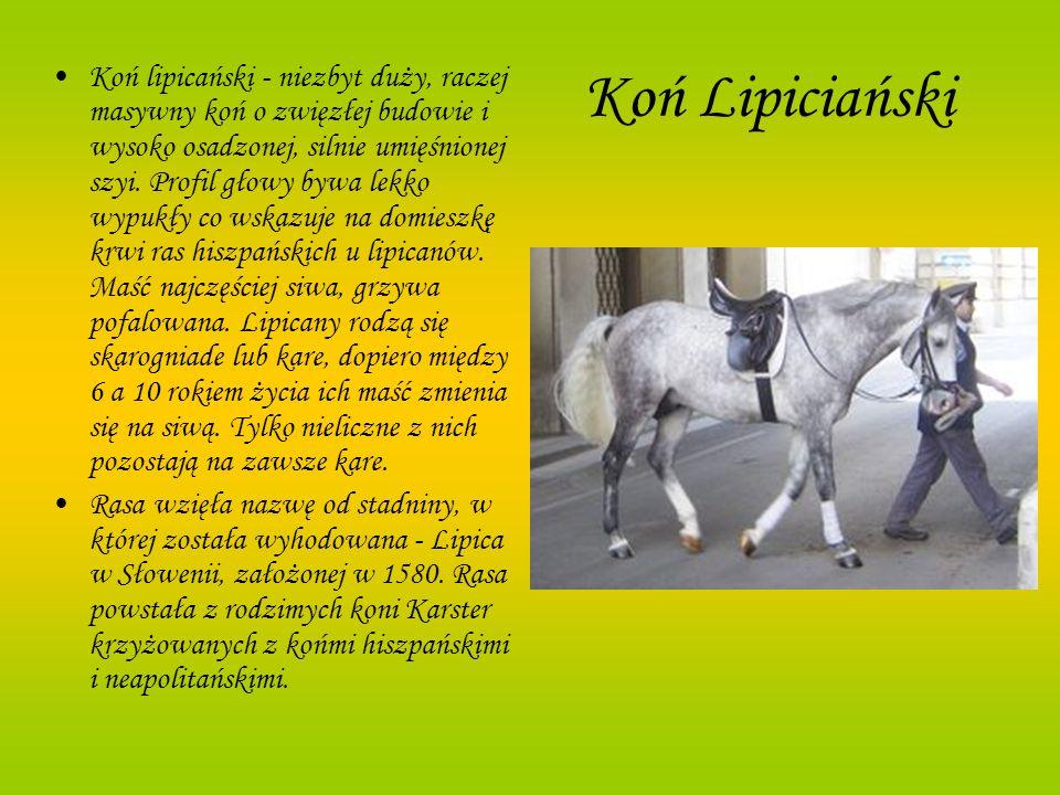 Koń Lipiciański Koń lipicański - niezbyt duży, raczej masywny koń o zwięzłej budowie i wysoko osadzonej, silnie umięśnionej szyi. Profil głowy bywa le