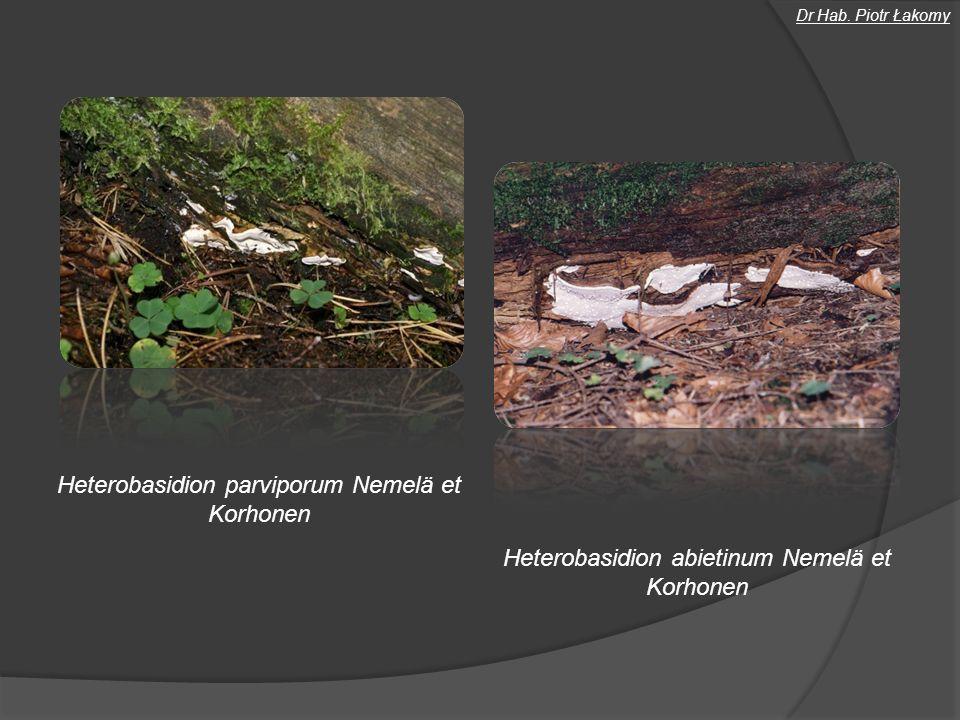 Badania naukowe Identyfikacja gatunków rodzaju Armillaria Armillaria ostoyae (Roman.) Herink Armillaria gallica Marxm.
