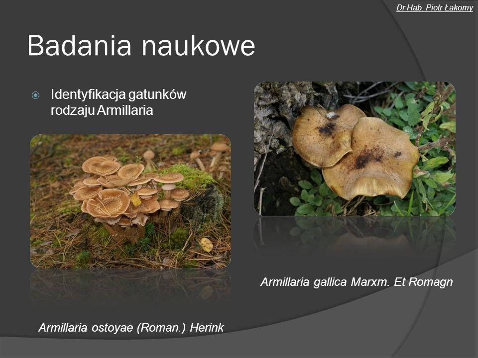 Badania naukowe Identyfikacja gatunków rodzaju Armillaria Armillaria ostoyae (Roman.) Herink Armillaria gallica Marxm. Et Romagn Dr Hab. Piotr Łakomy