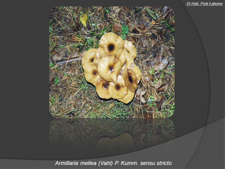 Badania naukowe Badania nad przebiegiem huby korzeni i opieńkowej zgnilizny korzeni w uprawach sosnowych Badania nad biopreparatami przeznaczonymi do zabezpieczania pniaków iglastych przed Heterobasidion spp.
