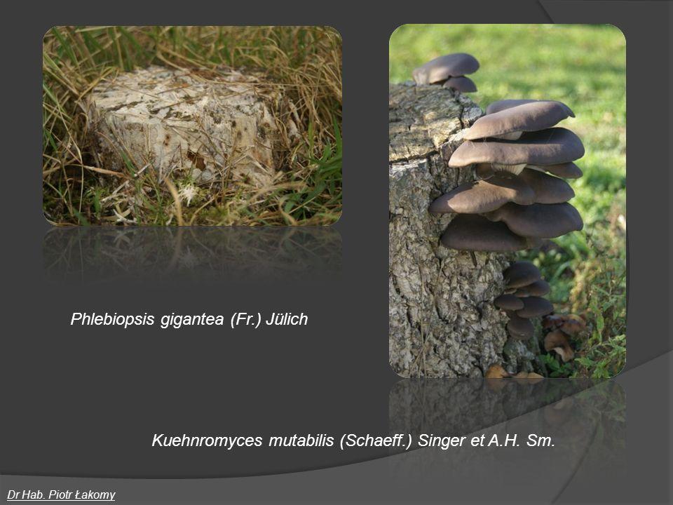 Phlebiopsis gigantea (Fr.) Jülich Dr Hab. Piotr Łakomy Kuehnromyces mutabilis (Schaeff.) Singer et A.H. Sm.
