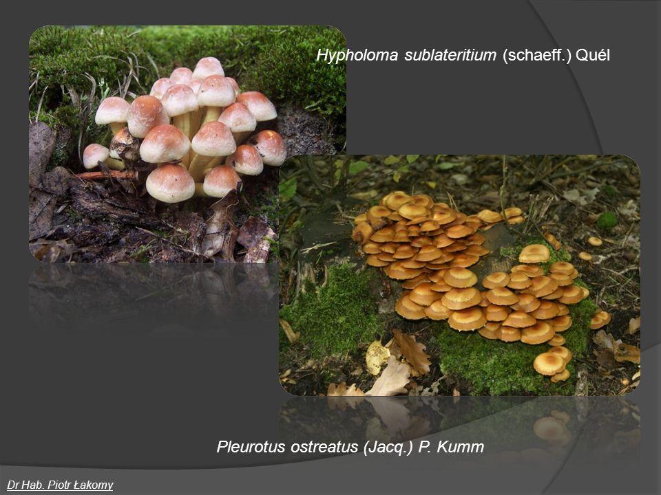 Hypholoma sublateritium (schaeff.) Quél Dr Hab. Piotr Łakomy Pleurotus ostreatus (Jacq.) P. Kumm