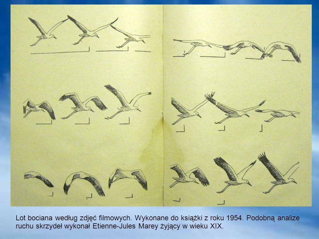 Lot bociana według zdjęć filmowych. Wykonane do książki z roku 1954. Podobną analize ruchu skrzydeł wykonał Etienne-Jules Marey żyjący w wieku XIX.