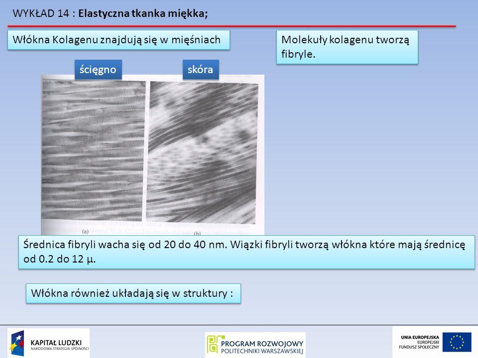 WYKŁAD 14 : Elastyczna tkanka miękka; Włókna Kolagenu znajdują się w mięśniach ścięgno skóra Molekuły kolagenu tworzą fibryle. Molekuły kolagenu tworz