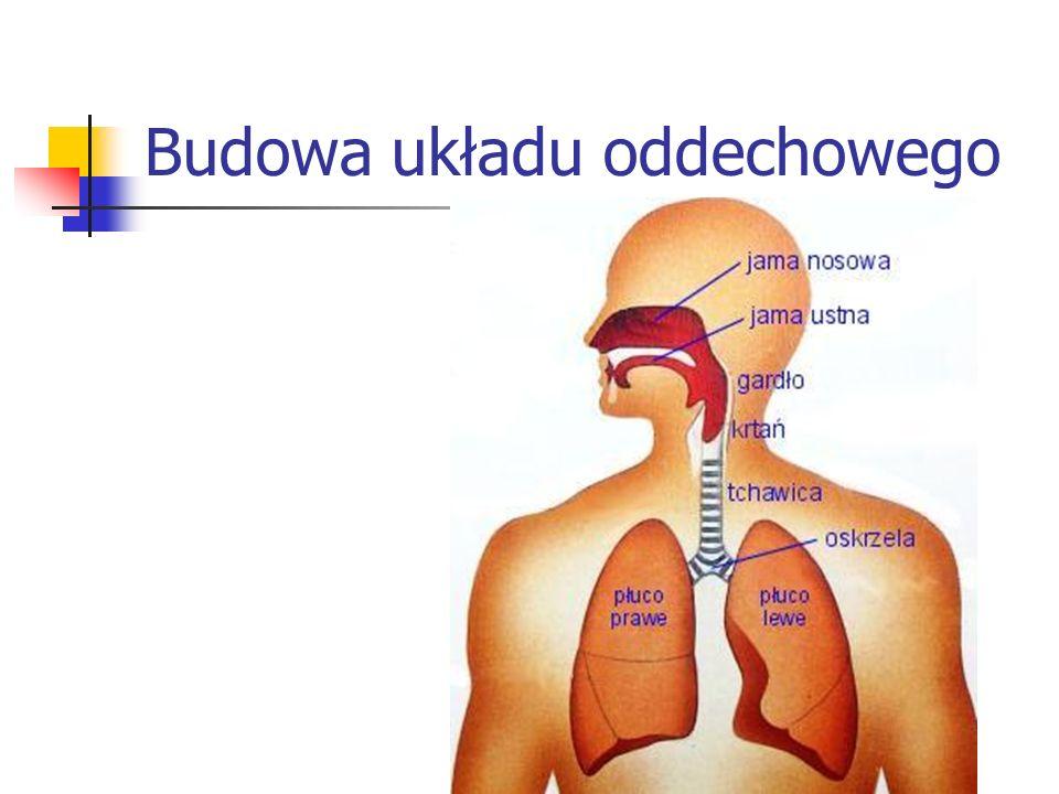 Budowa układu oddechowego