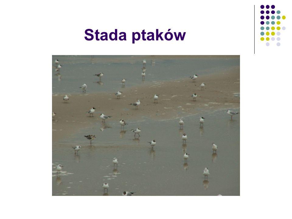 Stada ptaków