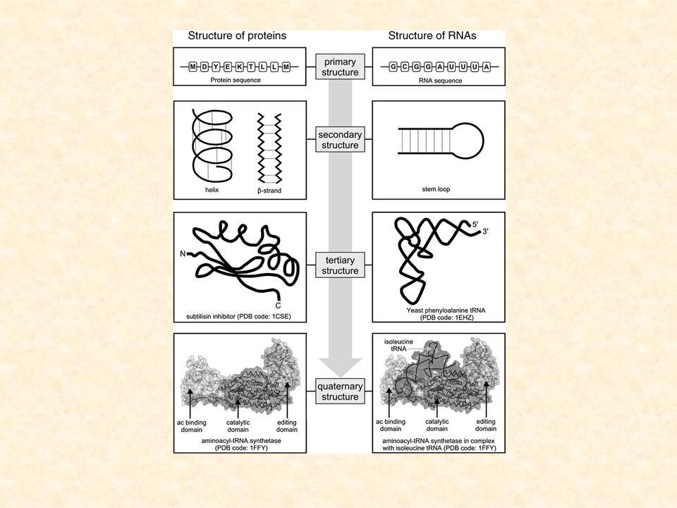 Różnice Mają inne inicjujące zdarzenia prowadzące do zwijania się Struktura 2-rzedowa białek jest formowana dzięki wiązaniom wodorowym w main-chain, a RNA obejmuje wiązania wodorowe pomiędzy łańcuchami pobocznymi