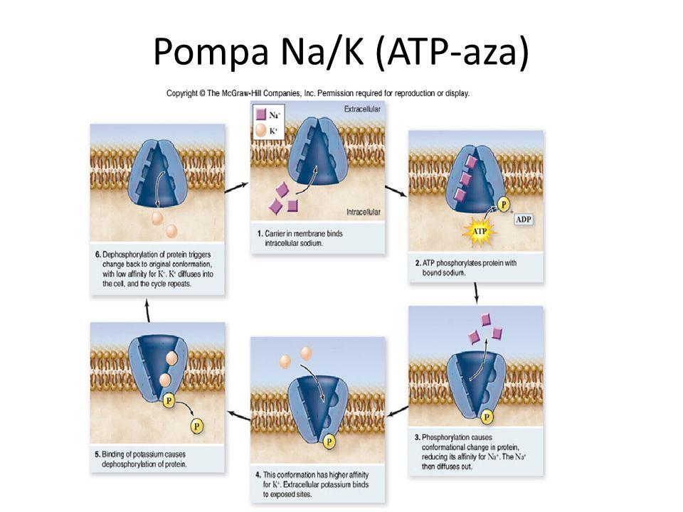 Pompa Na/K (ATP-aza)