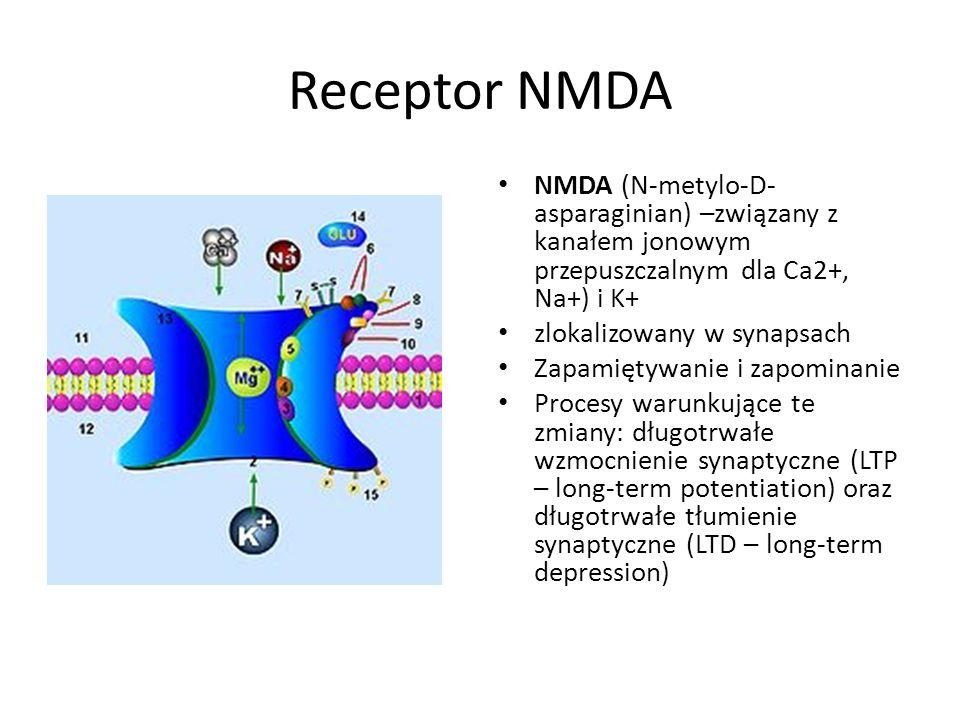 Receptor NMDA NMDA (N-metylo-D- asparaginian) –związany z kanałem jonowym przepuszczalnym dla Ca2+, Na+) i K+ zlokalizowany w synapsach Zapamiętywanie i zapominanie Procesy warunkujące te zmiany: długotrwałe wzmocnienie synaptyczne (LTP – long-term potentiation) oraz długotrwałe tłumienie synaptyczne (LTD – long-term depression)