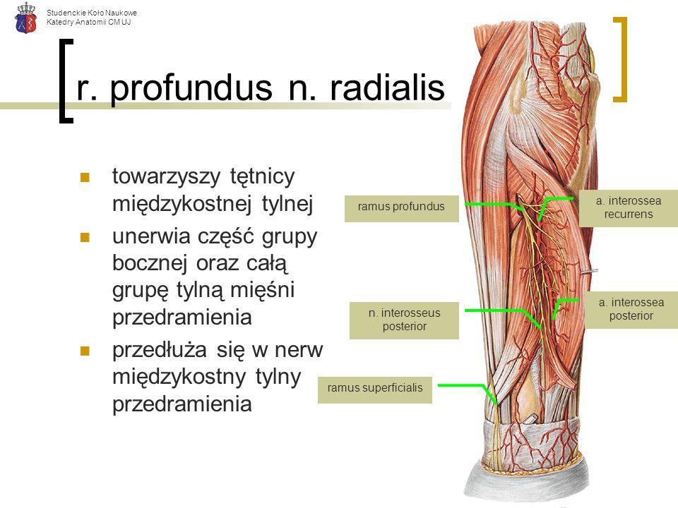 Studenckie Koło Naukowe Katedry Anatomii CM UJ r. profundus n. radialis towarzyszy tętnicy międzykostnej tylnej unerwia część grupy bocznej oraz całą