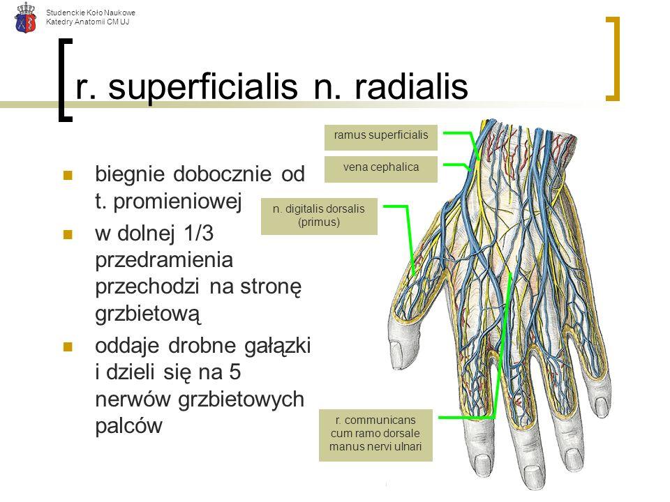 Studenckie Koło Naukowe Katedry Anatomii CM UJ r. superficialis n. radialis biegnie dobocznie od t. promieniowej w dolnej 1/3 przedramienia przechodzi