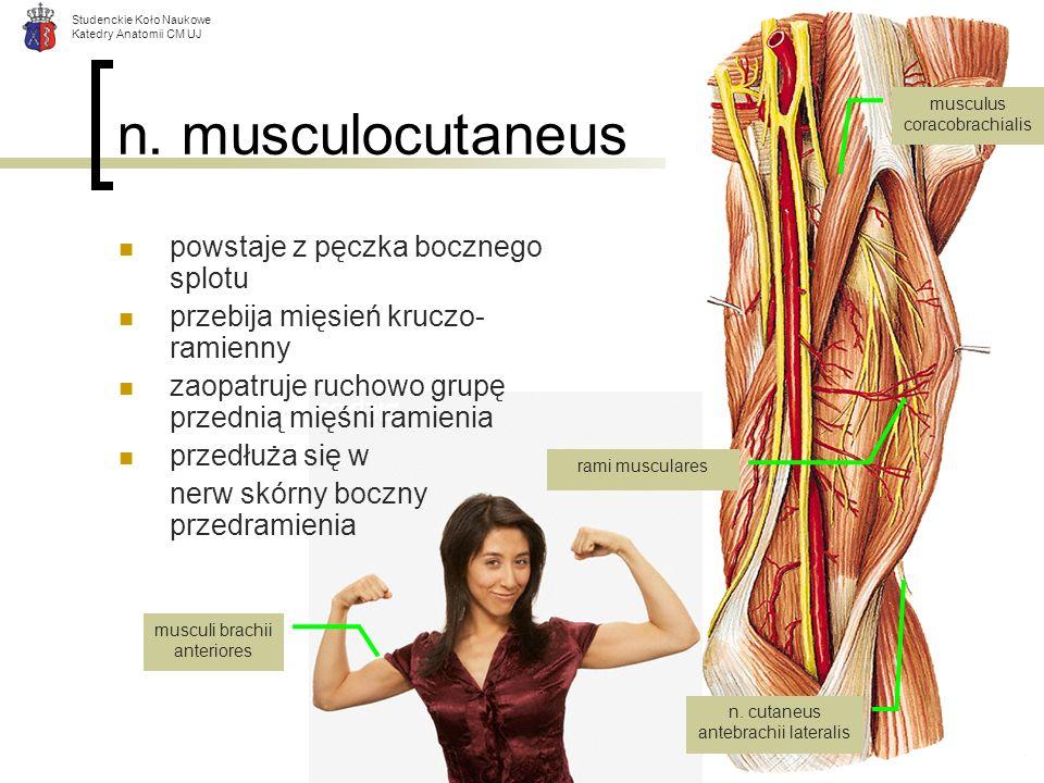 Studenckie Koło Naukowe Katedry Anatomii CM UJ n. musculocutaneus powstaje z pęczka bocznego splotu przebija mięsień kruczo- ramienny zaopatruje rucho