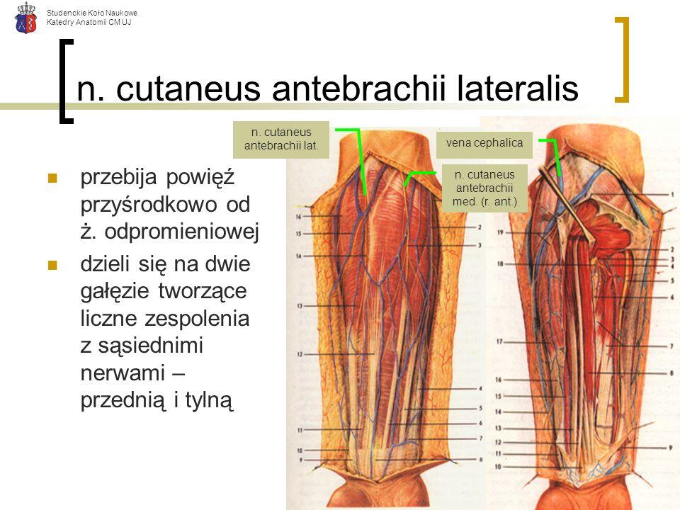 Studenckie Koło Naukowe Katedry Anatomii CM UJ n. cutaneus antebrachii lateralis przebija powięź przyśrodkowo od ż. odpromieniowej dzieli się na dwie