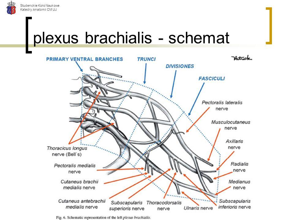 Studenckie Koło Naukowe Katedry Anatomii CM UJ plexus brachialis - schemat