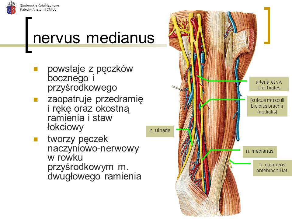 Studenckie Koło Naukowe Katedry Anatomii CM UJ nervus medianus powstaje z pęczków bocznego i przyśrodkowego zaopatruje przedramię i rękę oraz okostną