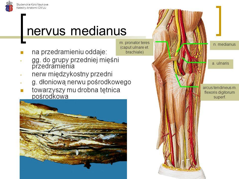 Studenckie Koło Naukowe Katedry Anatomii CM UJ nervus medianus na przedramieniu oddaje: - gg. do grupy przedniej mięśni przedramienia - nerw międzykos