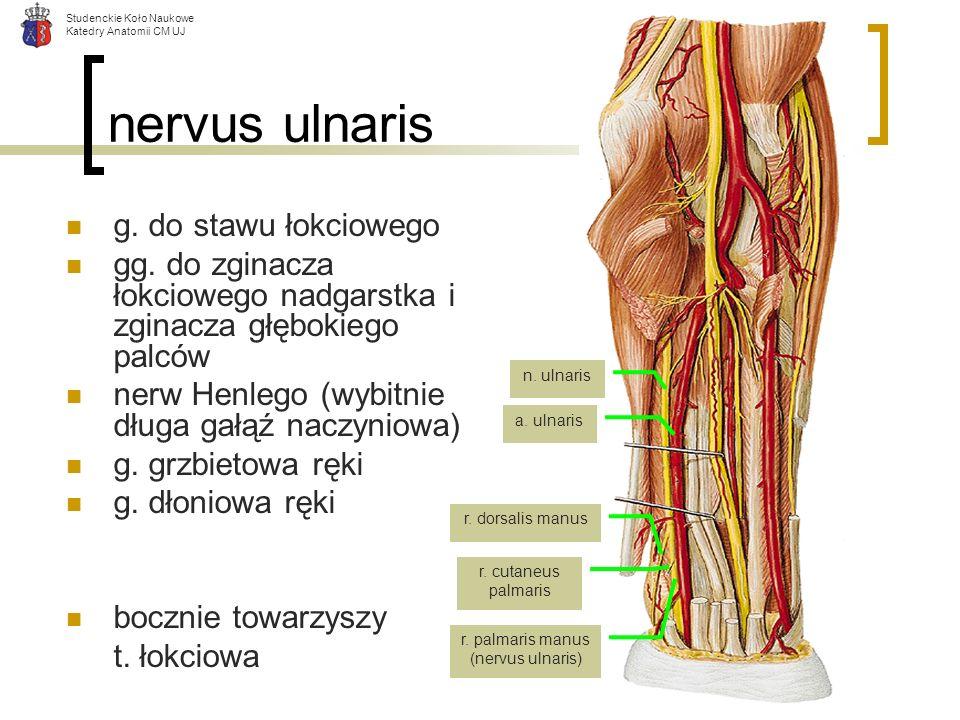 Studenckie Koło Naukowe Katedry Anatomii CM UJ nervus ulnaris g. do stawu łokciowego gg. do zginacza łokciowego nadgarstka i zginacza głębokiego palcó