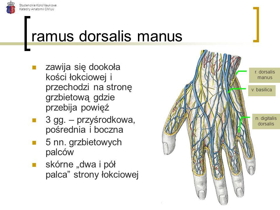 Studenckie Koło Naukowe Katedry Anatomii CM UJ ramus dorsalis manus zawija się dookoła kości łokciowej i przechodzi na stronę grzbietową gdzie przebij
