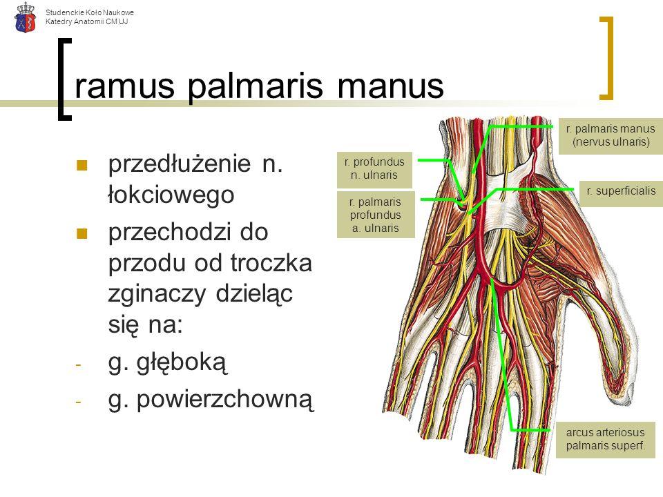 Studenckie Koło Naukowe Katedry Anatomii CM UJ ramus palmaris manus przedłużenie n. łokciowego przechodzi do przodu od troczka zginaczy dzieląc się na