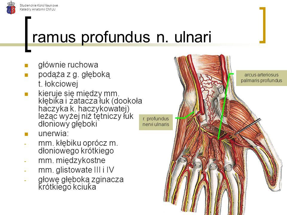 Studenckie Koło Naukowe Katedry Anatomii CM UJ ramus profundus n. ulnari głównie ruchowa podąża z g. głęboką t. łokciowej kieruje się między mm. kłębi