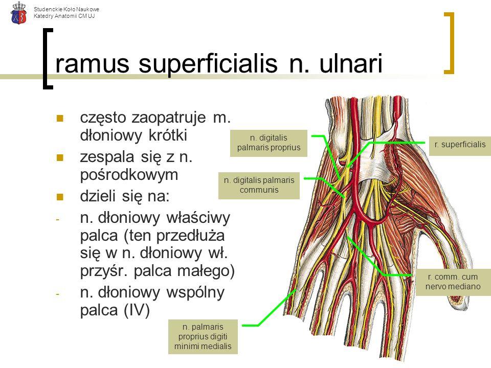 Studenckie Koło Naukowe Katedry Anatomii CM UJ ramus superficialis n. ulnari często zaopatruje m. dłoniowy krótki zespala się z n. pośrodkowym dzieli