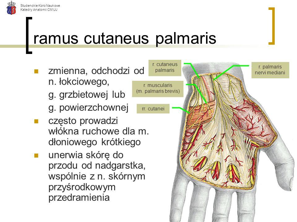 Studenckie Koło Naukowe Katedry Anatomii CM UJ ramus cutaneus palmaris zmienna, odchodzi od n. łokciowego, g. grzbietowej lub g. powierzchownej często
