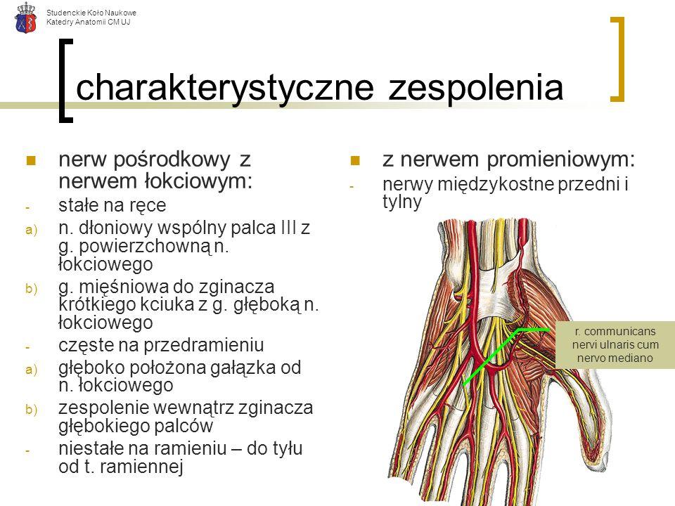 Studenckie Koło Naukowe Katedry Anatomii CM UJ charakterystyczne zespolenia nerw pośrodkowy z nerwem łokciowym: - stałe na ręce a) n. dłoniowy wspólny