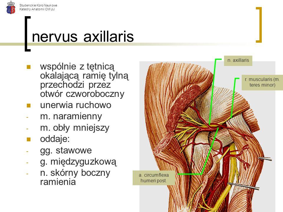 Studenckie Koło Naukowe Katedry Anatomii CM UJ nervus axillaris wspólnie z tętnicą okalającą ramię tylną przechodzi przez otwór czworoboczny unerwia r
