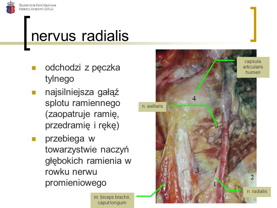Studenckie Koło Naukowe Katedry Anatomii CM UJ nervus radialis odchodzi z pęczka tylnego najsilniejsza gałąź splotu ramiennego (zaopatruje ramię, prze