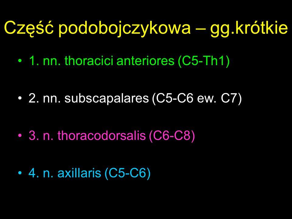 Część podobojczykowa – gg.krótkie 1.nn. thoracici anteriores (C5-Th1) 2.