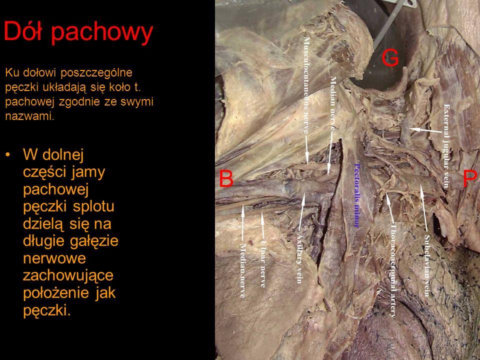 Dół pachowy W dolnej części jamy pachowej pęczki splotu dzielą się na długie gałęzie nerwowe zachowujące położenie jak pęczki.