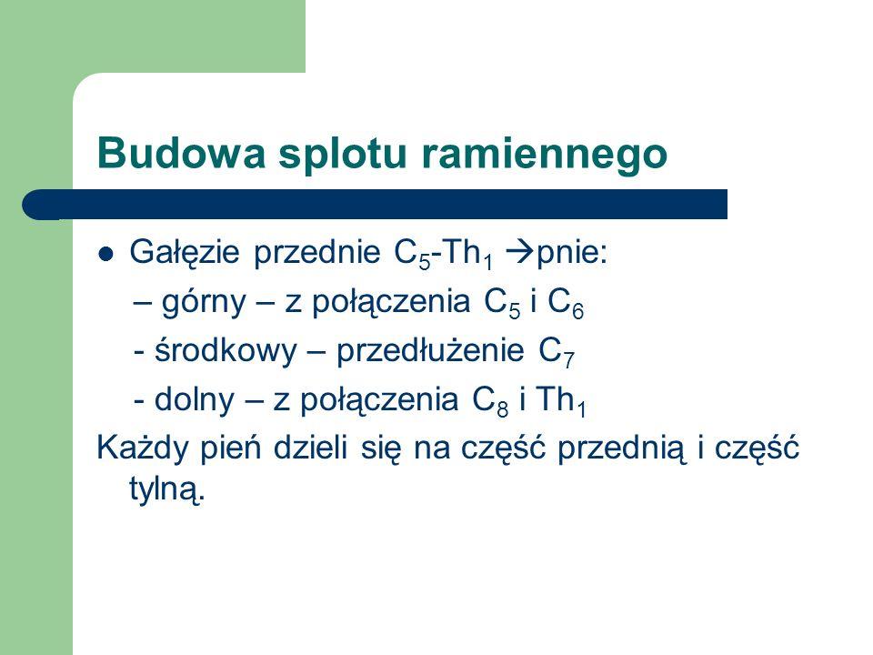 Nerw grzbietowy łopatki Unerwienie: Dolna część m.