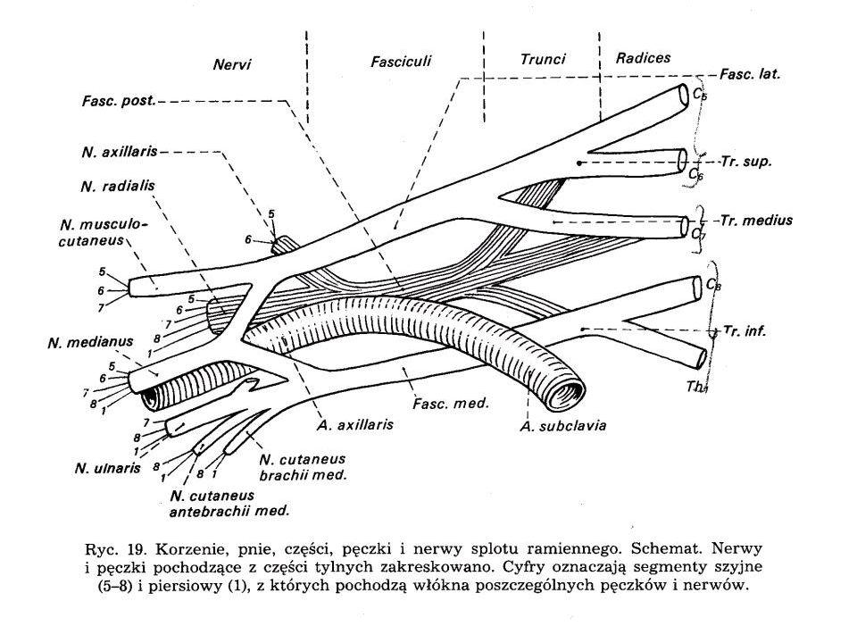Zespół Klumpkego Uszkodzenia pnia dolnego lub jego korzeni C 8, Th 1 Zdarza się przy gwałtownym pociągnięciu za kończynę górną Porażenie : mm.przedramienia i palców /czynność zginaczy bardziej upośledzona niż czynność prostowników/