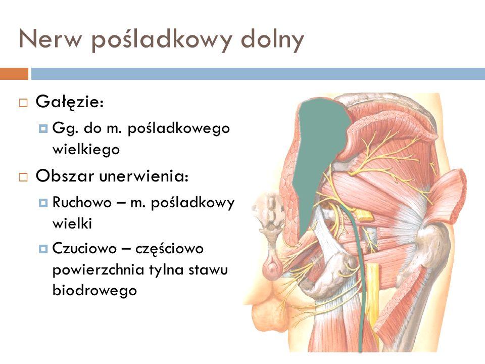 Nerw pośladkowy dolny Przyśrodkowo od nerwu leży t. pośladkowa dolna oraz początkowy odcinek n. skórnego tylnego uda Po wyjściu spod dolnego brzegu m.