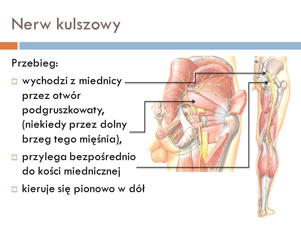 Nerw kulszowy Przebieg: wychodzi z miednicy przez otwór podgruszkowaty, (niekiedy przez dolny brzeg tego mięśnia), przylega bezpośrednio do kości mied