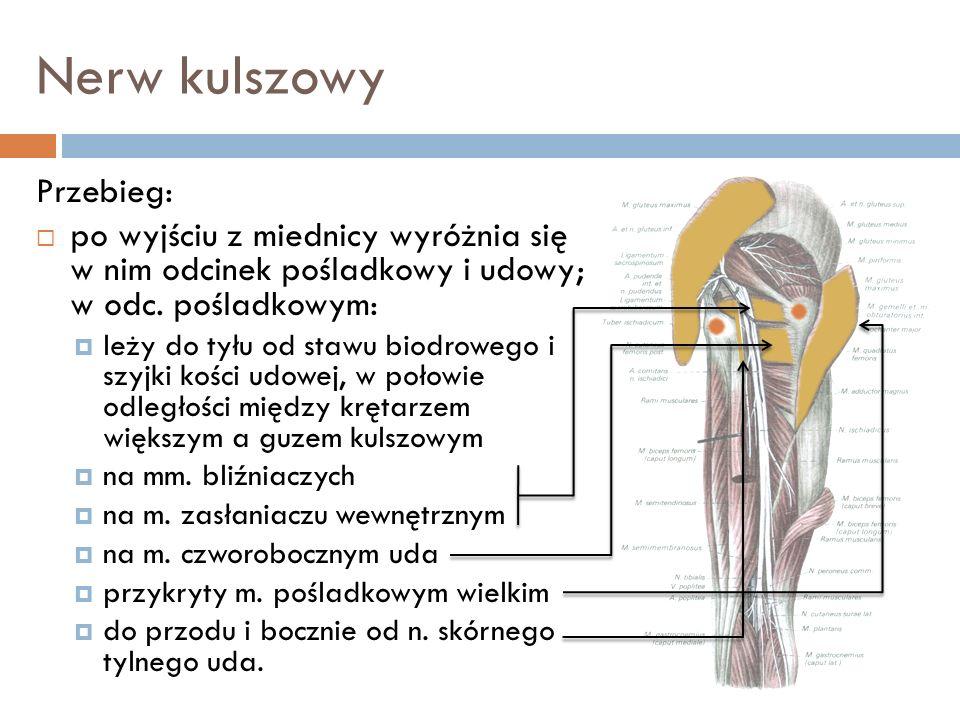 Nerw kulszowy Przebieg: po wyjściu z miednicy wyróżnia się w nim odcinek pośladkowy i udowy; w odc. pośladkowym: leży do tyłu od stawu biodrowego i sz