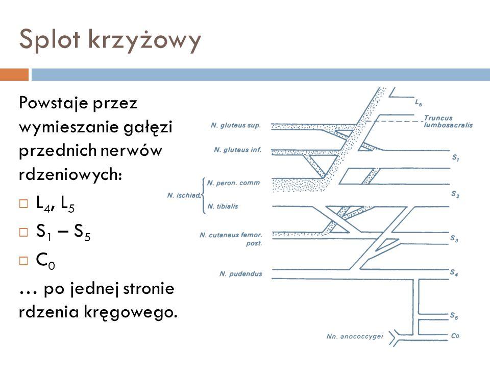 Splot krzyżowy Powstaje przez wymieszanie gałęzi przednich nerwów rdzeniowych: L 4, L 5 S 1 – S 5 C 0 … po jednej stronie rdzenia kręgowego.