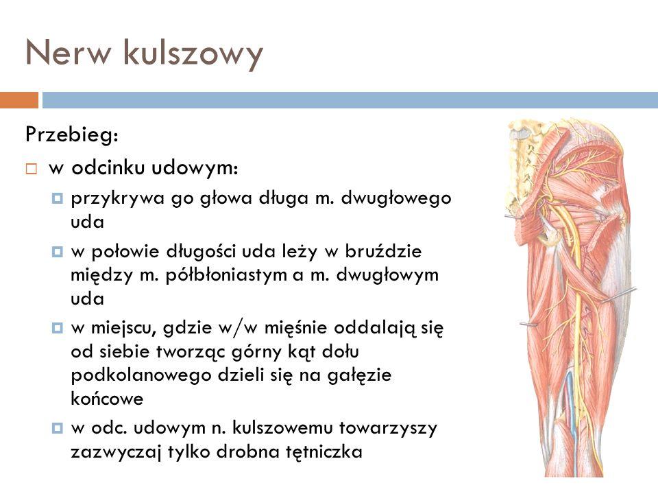 Nerw kulszowy Przebieg: w odcinku udowym: przykrywa go głowa długa m. dwugłowego uda w połowie długości uda leży w bruździe między m. półbłoniastym a