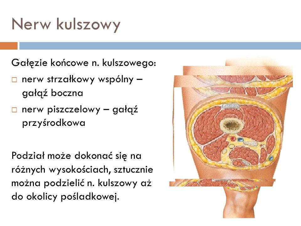Nerw kulszowy Gałęzie końcowe n. kulszowego: nerw strzałkowy wspólny – gałąź boczna nerw piszczelowy – gałąź przyśrodkowa Podział może dokonać się na