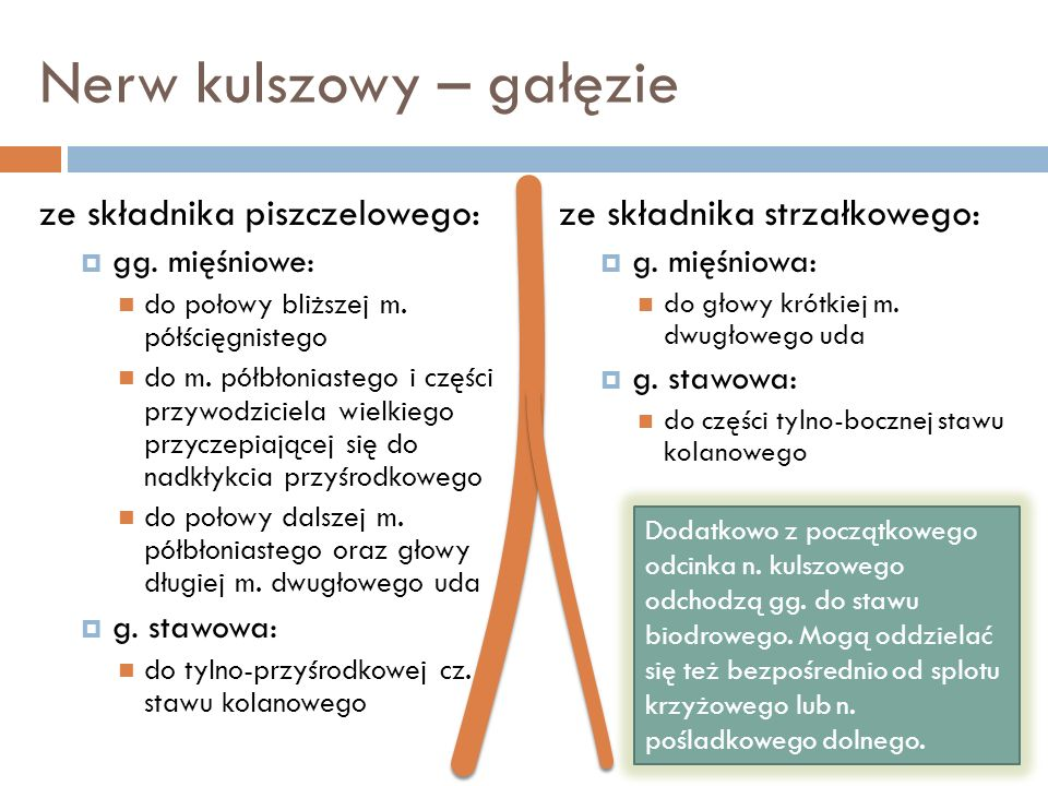 Nerw kulszowy – gałęzie ze składnika piszczelowego: gg. mięśniowe: do połowy bliższej m. półścięgnistego do m. półbłoniastego i części przywodziciela