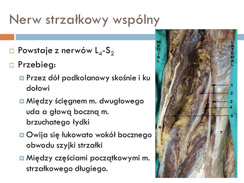 Powstaje z nerwów L 4 -S 2 Przebieg: Przez dół podkolanowy skośnie i ku dołowi Między ścięgnem m. dwugłowego uda a głową boczną m. brzuchatego łydki O